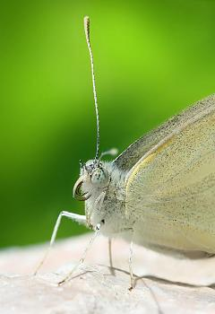 """Lets look at some """"butterflies"""" and other insects-pieris_rapae_close_richard_bartza.jpg"""