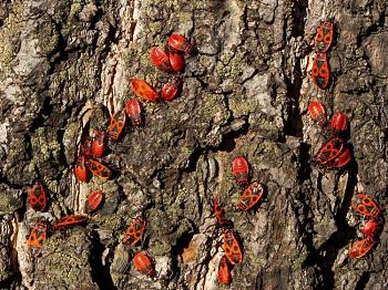 """Lets look at some """"butterflies"""" and other insects-pyrrhocoris_apterus_-kowale_bezskrzyde-.jpg"""