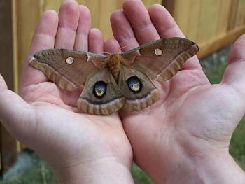"""Lets look at some """"butterflies"""" and other insects-holding_giant_moth_by_mangahana.jpg"""