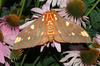 """Lets look at some """"butterflies"""" and other insects-horn_devil_moth.jpg"""