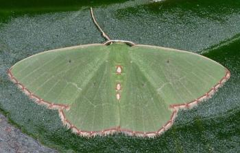 """Lets look at some """"butterflies"""" and other insects-img38.jpg"""