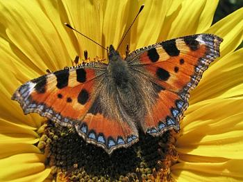 """Lets look at some """"butterflies"""" and other insects-kleiner_fuchs_-nymphalis_urticae-.jpg"""