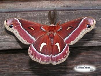 """Lets look at some """"butterflies"""" and other insects-lunarmoth6a.jpg"""