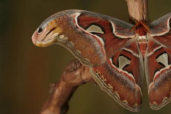 """Lets look at some """"butterflies"""" and other insects-moth-02a.jpg"""