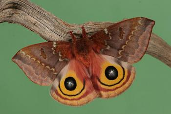 """Lets look at some """"butterflies"""" and other insects-moth-03a.jpg"""