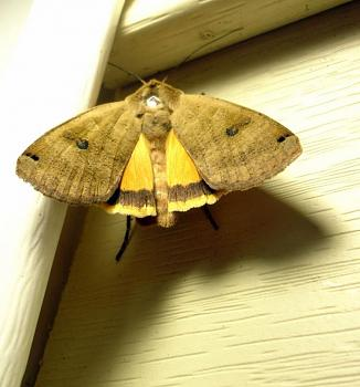 """Lets look at some """"butterflies"""" and other insects-moths84a.jpg"""