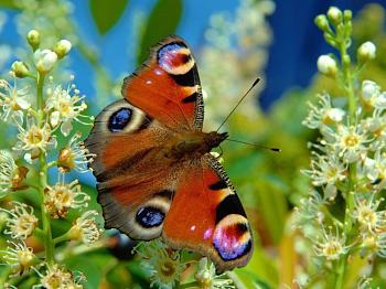 "Lets look at some ""butterflies"" and other insects-nymphalis_io_luc_viatour.jpg"
