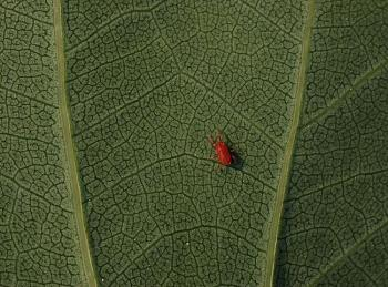 "Lets look at some ""butterflies"" and other insects-tulip_tree_liriodendron_tulipifera_leaf_underside_red_mite_2700pxa.jpg"
