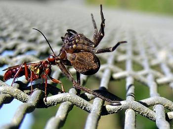 "Lets look at some ""butterflies"" and other insects-wasp_and_spider_02a.jpg"