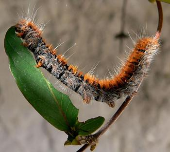"Lets look at some ""butterflies"" and other insects-chenille_chevrefeuille.jpg"