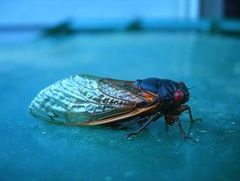 "Lets look at some ""butterflies"" and other insects-cicada.jpg"