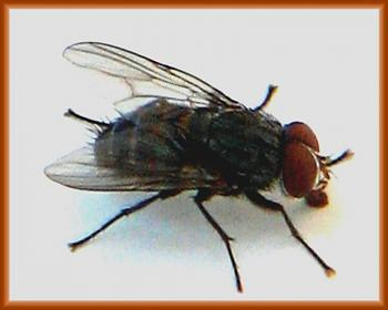 "Lets look at some ""butterflies"" and other insects-common-housefly-2-.jpg"