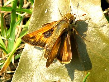 "Lets look at some ""butterflies"" and other insects-moth_1.jpg"
