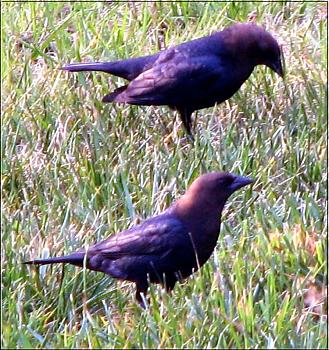 "How about your ""bird"" photos.....here's a few of mine.-brown-headed-cowbirds-male-copy.jpg"
