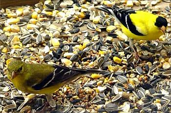 "How about your ""bird"" photos.....here's a few of mine.-goldfinch-pair.jpg"