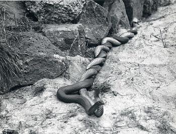 Reptilians & snakes-43747_image_275_122_109lo.jpg