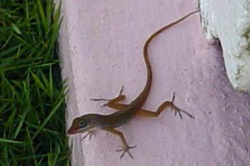 Reptilians & snakes-st.-lucia-wi-nov.-4-2004-kevin-melissas-wedding-533-.jpg