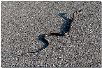 Reptilians & snakes-black-snake-crossing-road%3D.jpg