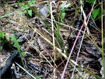 Reptilians & snakes-frog.jpg