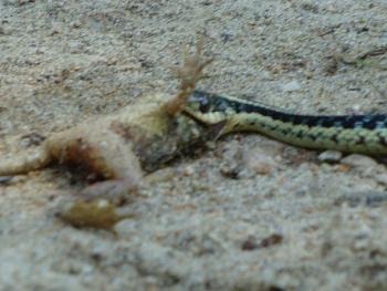 Reptilians & snakes-ripon-snake.jpg