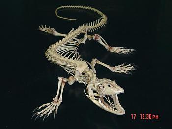 Reptilians & snakes-white-throated_monitor_skeleton_dorsal2.jpg