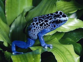 Reptilians & snakes-blue-frog.jpg