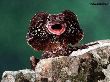 Reptilians & snakes-frilled-lizard.jpg