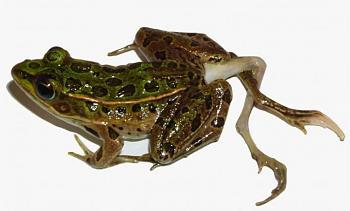 Reptilians & snakes-frog3_h.jpg