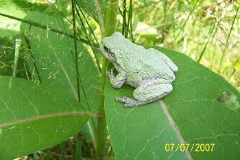 Reptilians & snakes-gray-tree-frog.jpg