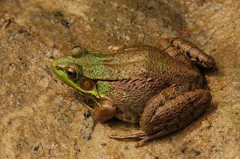 Reptilians & snakes-green_frog_rana_clamitans_facing_left_3008px.jpg