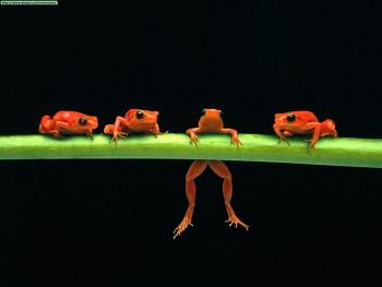 Reptilians & snakes-hang-there-red-tree-frogs.jpg