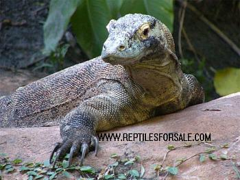 Reptilians & snakes-kmodo5.jpg