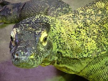 Reptilians & snakes-komodo_dragon.jpg