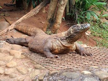 Reptilians & snakes-komodo_dragon_varanus_komodoensis_ragunan_zoo_5.jpg