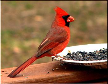 "How about your ""bird"" photos.....here's a few of mine.-cardinal-male-%3D-.jpg"