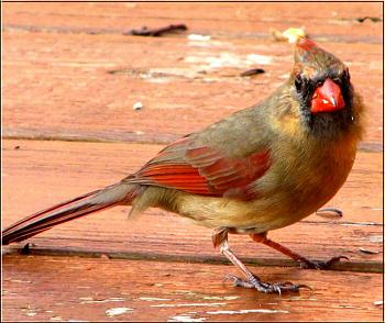 "How about your ""bird"" photos.....here's a few of mine.-cardinal-female-%3D-.jpg"