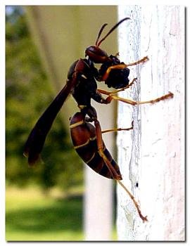"Lets look at some ""butterflies"" and other insects-wasp-food-larvae_1.jpg"