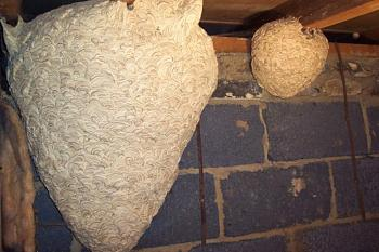 "Lets look at some ""butterflies"" and other insects-wasp-nest-02.jpg"
