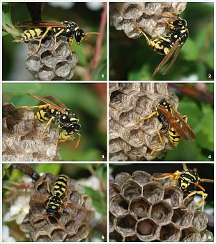 "Lets look at some ""butterflies"" and other insects-wasp-nest-03.jpg"