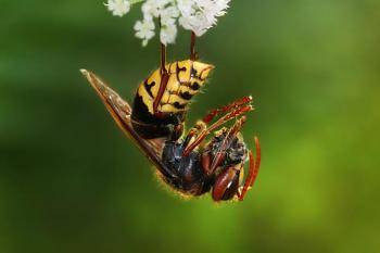 """Lets look at some """"butterflies"""" and other insects-vespa_crabro_germana_with_prey_richard_bartz.jpg"""