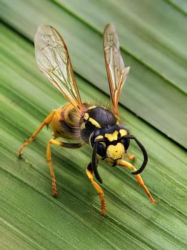 "Lets look at some ""butterflies"" and other insects-vespula_germanica_richard_bartz.jpg"