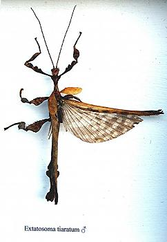 "Lets look at some ""butterflies"" and other insects-extatosoma_tiaratum_male.jpg"