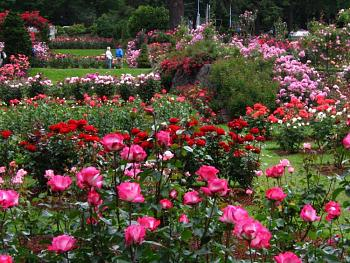 International Rose Test Gardens-rose-gardens-2.jpg