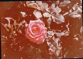 International Rose Test Gardens-rose-gardens-3.jpeg