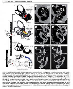 Bachmann's Stance on Evolution Demolished-ear-3-.jpg