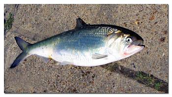 Favorite Springtime activity?-herring-james-river-richmond-virginia.jpg