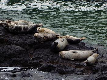 seal infestation in local waters-yaquina-head-harbor-seals-4-16-11.jpg