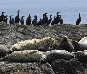 seal infestation in local waters-seals-cormorants.jpg