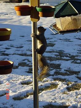Pole Dancing-squirrel-antics-cowbirds-036.jpg