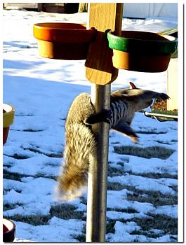 Pole Dancing-squirrel-antics%3D2592.jpg
